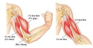 Cơ nhị đầu cánh tay