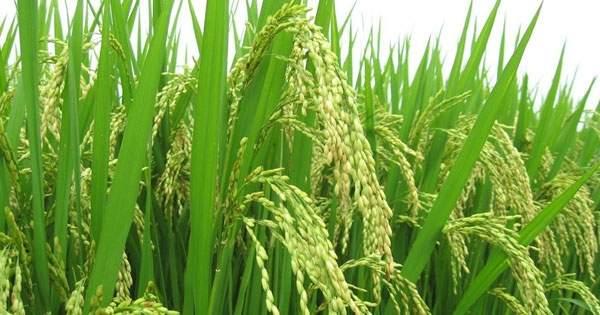 Thuyết minh về cây lúa nước.