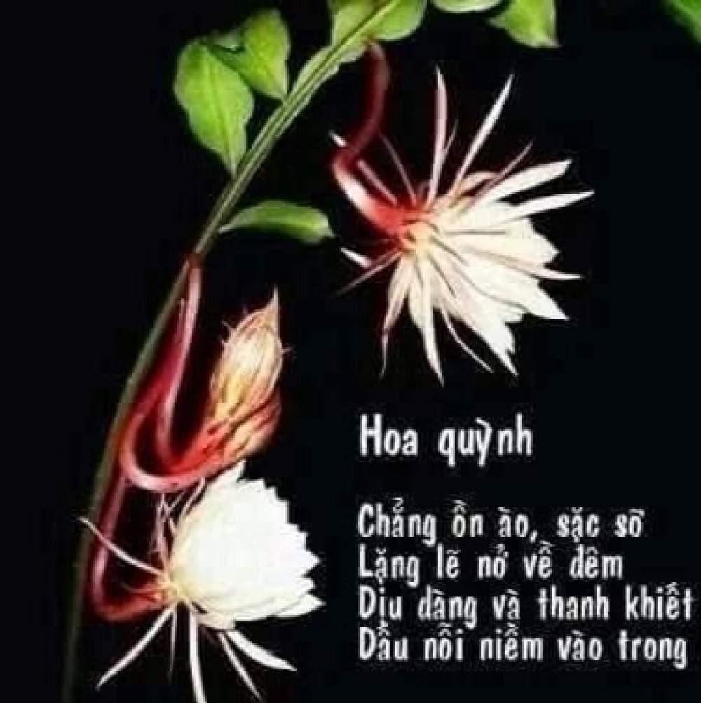 Như Quỳnh Lê